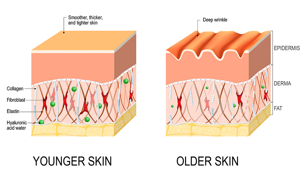 Skin Collagen and Elastin